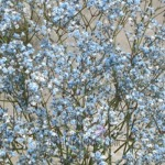 blue baby's breath