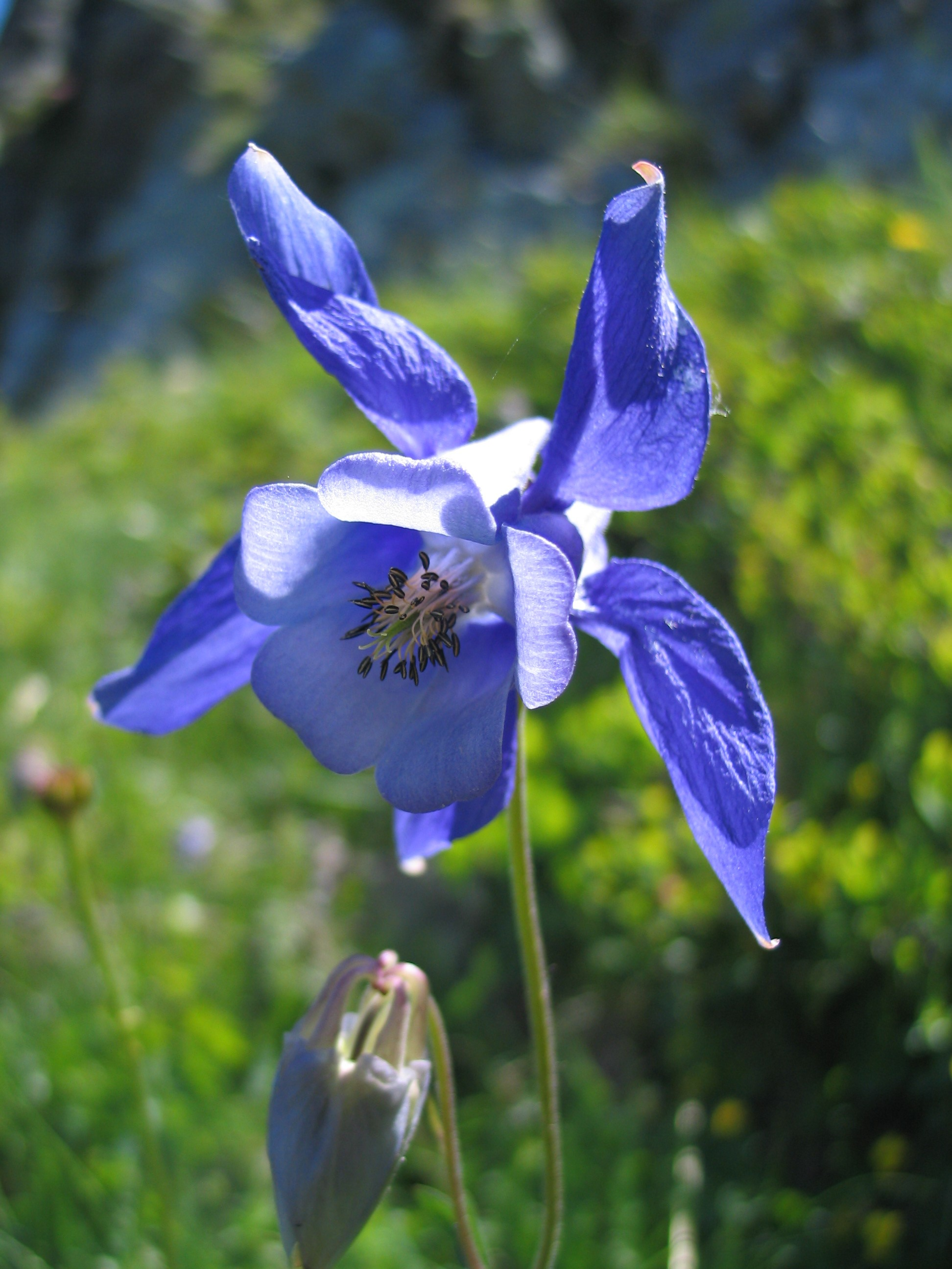 The flowers of the blessed virgin mary tom perna blue columbine izmirmasajfo Choice Image