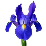 dark_blue_iris_flowers