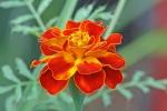 French_marigold_Tagetes_patula