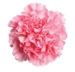 pink-carnation-flower