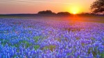 sunset_landscapes_fields_texas_bluebonnet_m26070